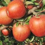 BRAEBURN  È la mela dell'autunno. La sua polpa è croccante e molto gustosa. Il suo sapore fruttato, rinfrescante, aromatico con un piacevole equilibrio tra zuccheri e acidità. La riconosciamo dalla buccia liscia e lucida di colore striato dal rosso scarlatto al rosso scuro.